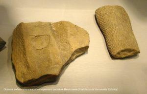 Древний плаун - Вячеславия (Viatcheslavia Vorcutensis Zallesky)